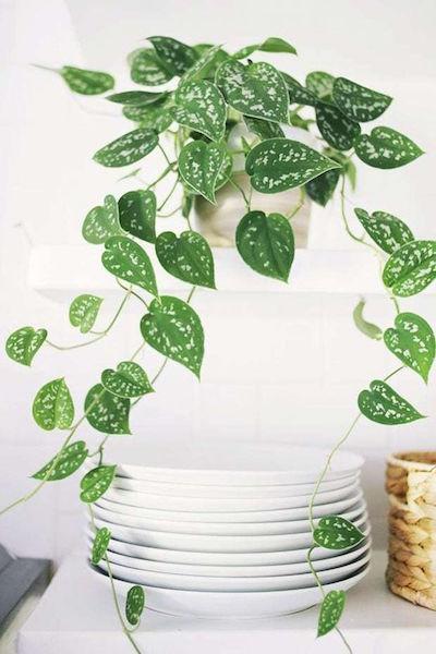 Plantas para cozinha - planta jibóia
