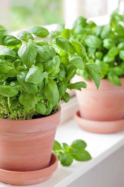 Como plantar manjericão em vaso