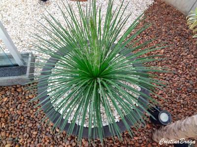 Planta Agave palito no vaso