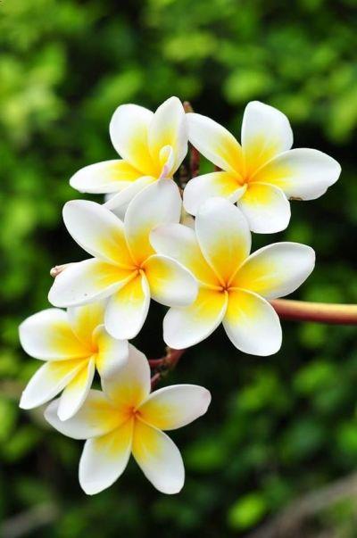 Jasmim manga é uma das plantas resistentes ao sol
