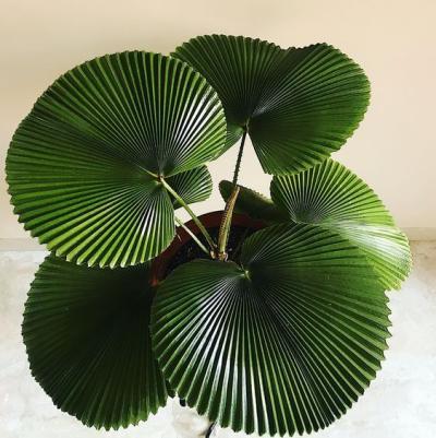 Planta palmeira leque no vaso