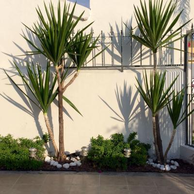 árvore yucca no jardim de casa