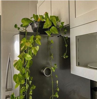 Planta jibóia na cozinha - plantas para apartamento pequeno