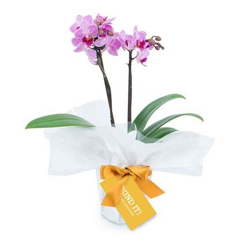 Flor orquídea para presente dia das mães
