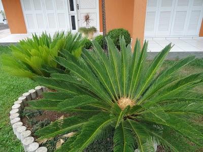 Planta Cica - planta de sol
