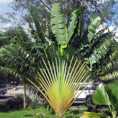 Plantas de sol - arvore do viajante