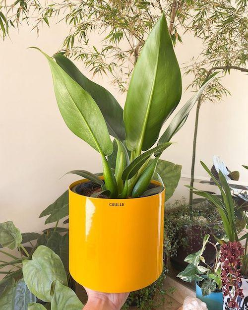 Planta para dentro de casa - pacová